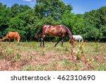 white horse grazing on a grass... | Shutterstock . vector #462310690