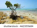 Mangrove Growing On The Beach...