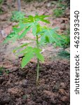 Young Papaya Tree Growing In...