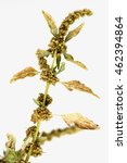 Small photo of Spiny amaranth, Spiny Pigweed (Amaranthus spinosus L.).