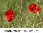 papaver rhoeas  field poppy | Shutterstock . vector #462424774