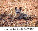 a bat eared fox in savanna in... | Shutterstock . vector #462465433
