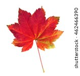 Small photo of A Vine Maple leaf, Acer circinatum, in Fall colors.