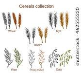 set of cereals. barley  rye ... | Shutterstock .eps vector #462555220