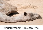 haggard camel lies on sand. | Shutterstock . vector #462557293