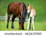 Foal And Mare Horses White And...