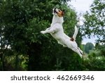 Stock photo dog agility terrier jumping and flying high 462669346