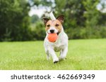 Stock photo funny pet dog playing with orange toy ball 462669349