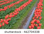 Reflections Of Red Tulips In...