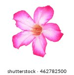 Azalea flowers isolated on...