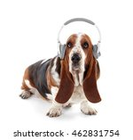 Basset Hound Dog In Headphones...