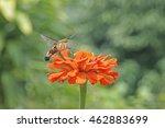 Macroglossum  Hummingbird Hawk...