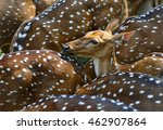 A Herd Of Spotted Deer  Axis...