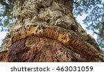Closeup Of A Cork Oak Tree On...