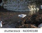 Mediterranean Gull Or Black...