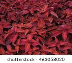 a thicket of red leafed coleus... | Shutterstock . vector #463058020