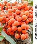 Small photo of Foxtail Palm fruit (Wodyetia bifurcate A.K. Irvine)