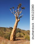 Small photo of Quiver Tree, Aloe dichotoma, Augrabies Falls National Park, South Africa