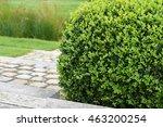 buxus sempervirens  boxwood... | Shutterstock . vector #463200254