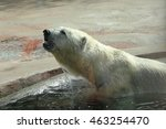 the adult polar bear in the... | Shutterstock . vector #463254470