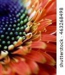 macro of an orange gerbera daisy
