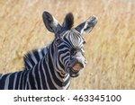 A Zebra With Long Grass...