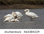 mute swan   old birds torturing ... | Shutterstock . vector #463384229