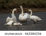 mute swan   old birds torturing ... | Shutterstock . vector #463384256