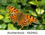 Comma Butterfly 10