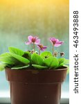 Small photo of Beautiful African Violet under the sun. African Violet is a kind of healthy vegetable.
