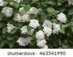 Small photo of Spiraea cantoniensis, Spiraea vanhouttei in bloom