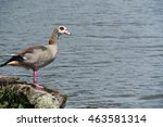 young egyptian goose 3 | Shutterstock . vector #463581314