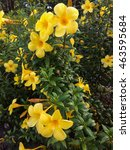 Small photo of Close up of Golden Trumpet (Allamanda cathartica)