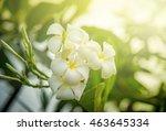 white plumeria or frangipani.... | Shutterstock . vector #463645334