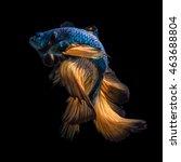 colourful betta fish siamese... | Shutterstock . vector #463688804