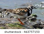 The Ruddy Turnstone  Arenaria...