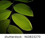 Small photo of Photograph of alternating backlit leaves of a Solomon's Seal, or Polygonatum plant isolated against a black background.