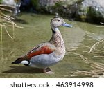 Ringed Teal  Callonetta...