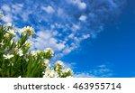 White Oleanders Under Blue Sky