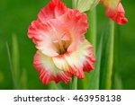 Flower Gladiolus In Latin...