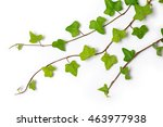 three ivy twigs   Shutterstock . vector #463977938