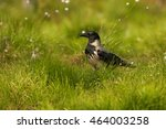 hooded crow corvus corone... | Shutterstock . vector #464003258