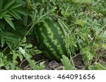 the growing water melon in the... | Shutterstock . vector #464091656