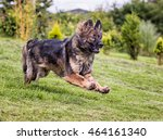 german shepherd dog with a... | Shutterstock . vector #464161340