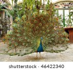 Peacock proudly displays his plumage in a restaurant in Havana, Cuba - stock photo