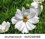White Daisy Flower In Garden O...