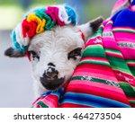 baby lamb held in a... | Shutterstock . vector #464273504