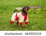 Small photo of Funny Pinscher Pinscher in white and red jacket