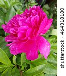 peony  paeonia   Shutterstock . vector #464318180