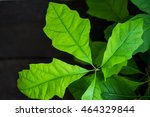 Green Young Oak Leaves On A...
